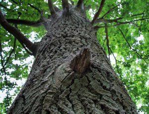 ison puun runko