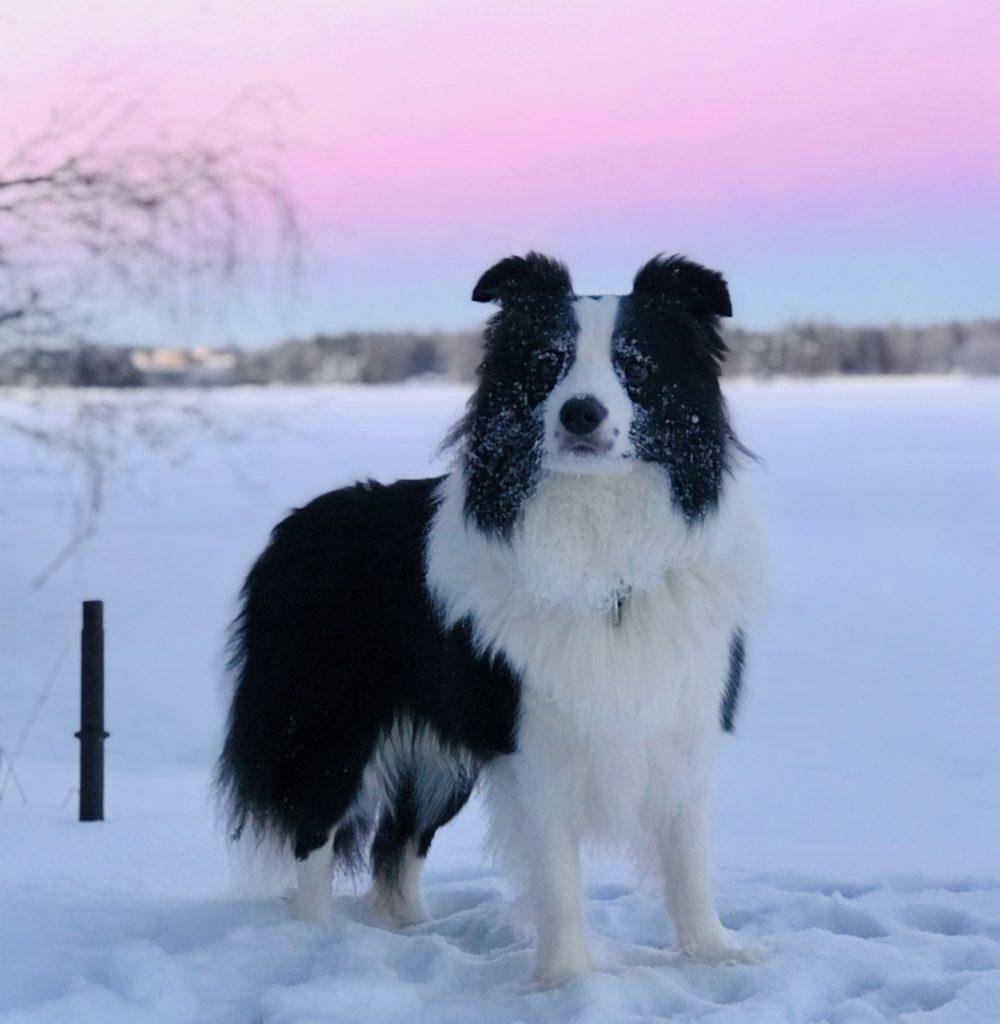 Koira Tähtiniemessä
